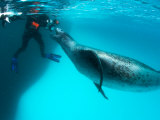 Goran Ehlme Encounters a Massive Female Leopard Seal, Antarctica Photographie par Paul Nicklen