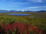 Fall Colors in an Alaskan Field, Alaska Photographic Print by Nick Norman