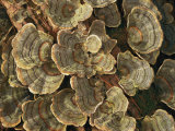 Close View of Turkey-Tail Fungi in Estabrook Woods, Concord, Massachusetts Photographic Print by Darlyne A. Murawski