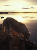 Husky Approaches the Shore, Yellowknife, Northwest Territories, Canada Photographic Print by Nick Norman