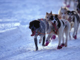 Team of Sled Dogs Run across the Snow, Yukon Territory, Canada Photographic Print by Nick Norman