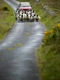 In Irish Shepherd Herds His Flock of Sheep, Clare Island, County Mayo, Ireland Fotografiskt tryck av Pete Ryan