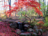 Japanese Maple Tree with Red Leaves in the Fall, Next to a Waterfall, New York Lámina fotográfica por Murawski, Darlyne A.