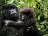 Female Mountain Gorilla and Her Child, Rwanda Fotografie-Druck von Michael Nichols