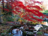 Japanese Maple with Colorful, Red Foliage at a Stream's Edge, New York Fotografisk tryk af Darlyne A. Murawski