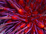 Close-Up of Red Sea Urchin, a Favorite Food of the Sea Otter Fotografie-Druck von Paul Nicklen