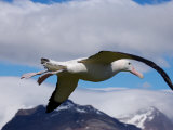 Wandering Albatross, Longest Wingspan in the World, in Flight, South Georgia Island, Antarctica Photographic Print by Paul Nicklen