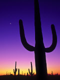 Sonoran Desert at Twilight with Saguaro Cacti and Crescent Moon, Saguaro National Monument, Arizona Photographic Print by Ralph Lee Hopkins