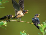 Three Barn Swallow Fledglings Begging for a Meal, Arlington, Massachusetts, USA Photographie par Darlyne A. Murawski