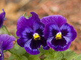 Close View of Pansies, Atlanta, Georgia Photographic Print by Joel Sartore