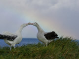 Wandering Albatross Courtship Display, Male Trying to Impress Female Photographic Print by Paul Nicklen