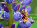 Bee Visiting a Lupine Flower in the Springtime, Arlington, Massachusetts, USA Photographic Print by Darlyne A. Murawski