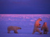Polar Bears Frolic in the Snow at Sunset, Churchill, Manitoba, Canada Photographic Print by Nick Norman