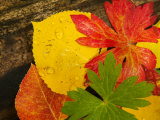 Close-Up of Autumn Leaves, Santa Fe, New Mexico, USA Photographic Print by Ralph Lee Hopkins