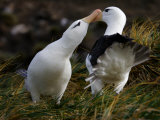Pair of Black-Browed Albatrosses Courting, West Point Island, Falkland Islands Photographic Print by Paul Nicklen