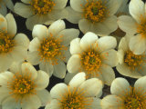 Detail of Flowers, Mountain Aven, Nunavut, Canada Photographic Print by Nick Norman