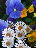Pansies and Osteospermum Flowers in a Garden, Belmont, Massachusetts, USA Photographic Print by Darlyne A. Murawski