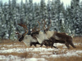 Trio of Caribou Bulls Migrate, St. Elias National Park, Alaska Photographic Print by Michael S. Quinton