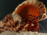 Red Hermit Crab Occupying the Shell of a Giant Triton Snail, Derawan Island, Borneo, Indonesia Photographic Print by Darlyne A. Murawski