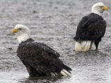 Two Bald Eagles Wait to Feed on Dead Chum Salmon, Southeast Alaska Photographic Print by Michael S. Quinton
