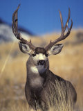 Mule Deer Buck, Yellowstone National Park, Montana Photographic Print by Michael S. Quinton