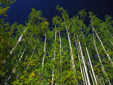 Forest of Poplar Trees, Yukon Territories, Canada Photographic Print by Nick Norman