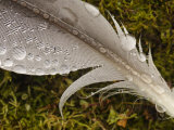 Rain Drops on a Gull Feather, South Spitsbergen National Park, Hornsund, Svalbard, Norway Photographic Print by Ralph Lee Hopkins