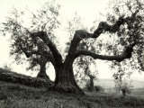 Large Olive Tree in the Tuscan Hills Photographic Print by Vincenzo Balocchi