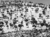 Extent of Olive Trees Photographic Print by Vincenzo Balocchi