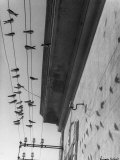 Swallows Resting on Electrical Lines Photographic Print by Vincenzo Balocchi