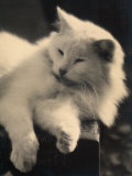 Persian Cat Dozing on a Chair Photographic Print by Ludovico Pacho