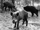 Wild Boar in Bolgheri Photographic Print by Vincenzo Balocchi