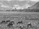 Rams on the Pasture Photographic Print by Vincenzo Balocchi