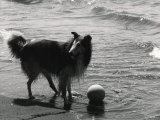 Collie on the Beach Photographic Print by Vincenzo Balocchi