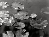 Water-Lilies on a Mirrored Surface of Water Photographic Print by Vincenzo Balocchi