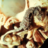 Close-up of a Seahorse Leaning on a Shell Photographic Print by A. Villani