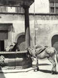 Donkeys in the Erba Piazza in Orvieto Photographic Print by Vincenzo Balocchi