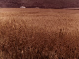 Wheat Field Photographic Print by Vincenzo Balocchi