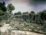 Rose Garden at Cannes Photographic Print by Henrie Chouanard