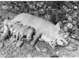Sow Feeding Her Piglets Photographic Print by Vincenzo Balocchi