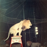 Lion Standing on a Pedestal Inside a Circus Cage Roaring Photographic Print by A. Villani