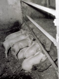 Sow Feeds Her Piglets in a Pigpen Photographic Print by A. Villani