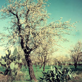 Almond Tree in Bloom, Between an Agave Plant and a Cactus Photographic Print by A. Villani