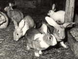 Rabbits at a Farm Photographic Print by A. Villani