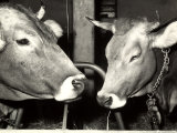 Close-up of Two Cows at a Farm Photographic Print by A. Villani