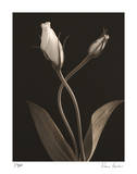 White Lisianthus III Giclee Print by Donna Geissler