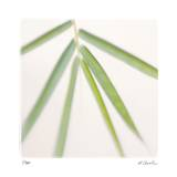 Bamboo Study 8 Limited Edition by Claude Peschel Dutombe