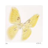 Butterfly Study 11 Giclee Print by Claude Peschel Dutombe