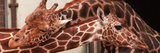 Two New Giraffe Calves Make Their First Apperance at London Zoo, October 1997 Photographic Print
