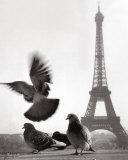 Eiffel Tower with Pigeons, Paris Posters par Elise Hardy